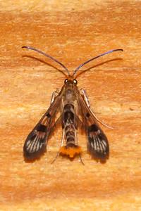 Borer - Maple Callus - (Synanthedo nacerni) - Dunning Lake - Itasca County, MN