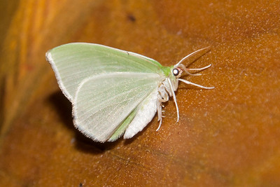 Beauty-Pale-(Campaea perlata)- Dunning Lake - Itasca County, MN