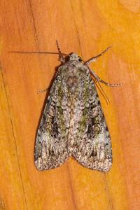 Arches-Green-(Anaplectoides prasina)-Dunning Lake-Itasca County, MN