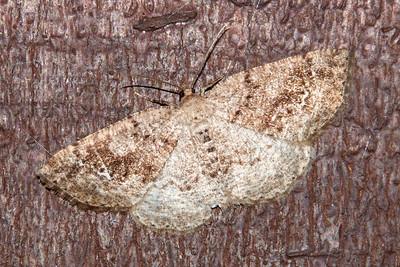 Homochlodes-Pale-(Homochlodes fritillaria)-Bayfield, WI