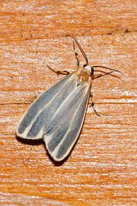 Lichen - Painted - (Hypoprepia fucosa) - Little Marais, MN