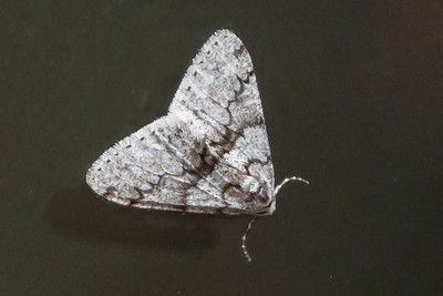 Phigalia-Toothed-(Phigalia denticulata)-Wakulla Springs State Park, FL