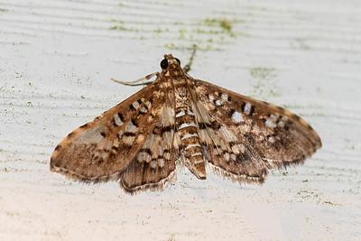 Assembly Moth-(Samea ecclesialis)-St. George Island, FL