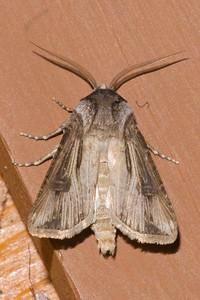 Dart-Venerable-(Agrotis venerabilis)-Little Marais, MN