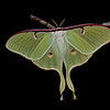 Luna moth (female) taken near Tampa, FL by photographer Jerry Dalrymple