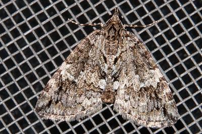 Hydriomena-Black-Dashed-(Hydriomena divisaria)-Bayfield, WI