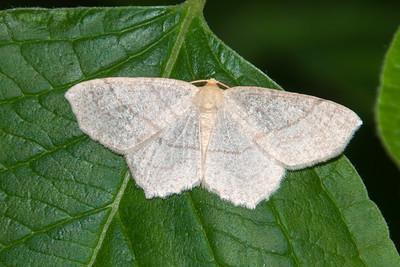 Besma - Straw - (Besma endropiaria) - Bayfield, WI