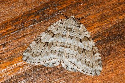 Autumnal Moth - (Epirrita autumnata) - Little Marais, MN