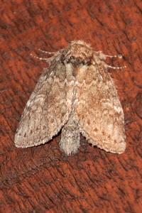 Heterocampa-Wavy-Lined-(Heterocampa biundata)-Bayfield, WI