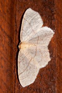 Besma-Straw-(Besma endropiaria)-Bayfield, WI