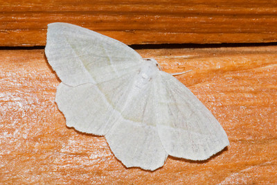 Pale Beauty - Little Marais, MN