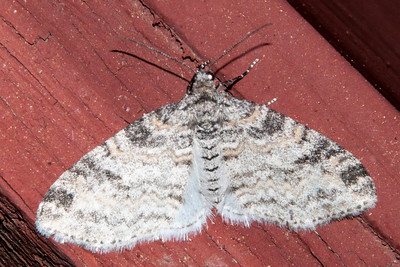 Bigwing-Powdered-(Lobophora nivigerata)-Bayfield, WI