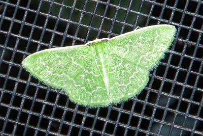 Emerald-Southern-(Synchlora frondaria)-St. George Island, FL