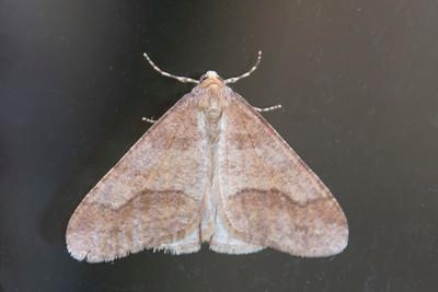 Looper-Linden-(Erannis tiliaria)-Shoreview, MN