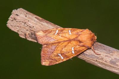 Borer-Osmunda-(Papaipema speciosissima)-Shoreview, MN