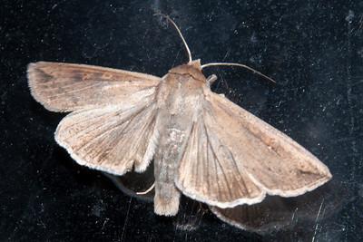 Moth - Armyworm - (Mythimna unipuncta) - Bayfield, WI
