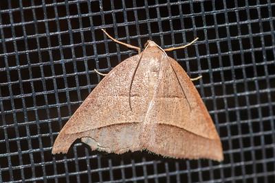 Petrophora-Common-(Petrophora divisata)-St. George Island, FL