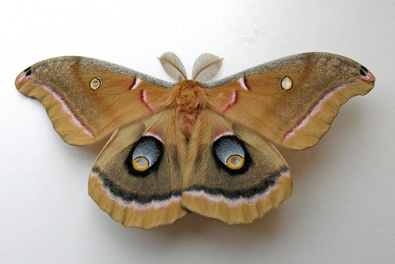 Polyphemus Moth - (Antheraea polyphemus) - Shoreview, MN