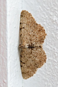 Gray Moth - Four-Barred - (Aethalura intertexta) - Marathon Inn - Grand Manan Island - New Brunswick