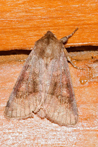 Cutworm Moth - Bronzed - (Nephelodes minians) - Little Marais, MN - 02