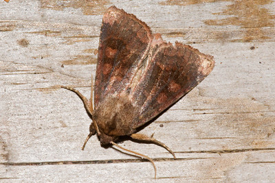 Cutworm Moth - Bronzed - (Nephelodes minians) - Little Marais, MN - 01