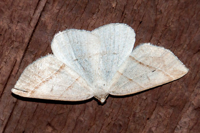 Petrophora-Northern-(Petrophora subaequaria)-Bayfield, WI