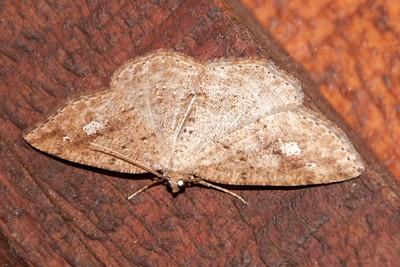 Homochlodes - Pale - (Homochlodes fritillaria) - Bayfield, WI