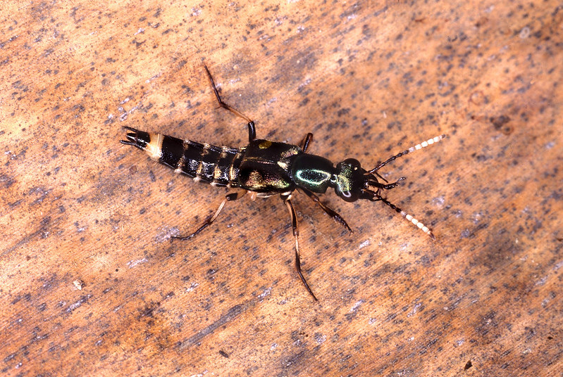 A large proportion of rove beetles can be diurnally active. Whilst it is not unknown for members of some beetle families to mimic stinging Ichneumonid wasps with a focus on the contrasting, continually waving, banded antennae of these wasps. Like earwigs, the hindwings of rove beetles are intricately folded under the shortened wingcases of this beetle family. The female wasp model usually hunts for beetle larvae or caterpillars on logs and foliage with its wings in the folded position. This suits the beetle mimic as the hydraulic effort required to unfold and refold wings would be considerable