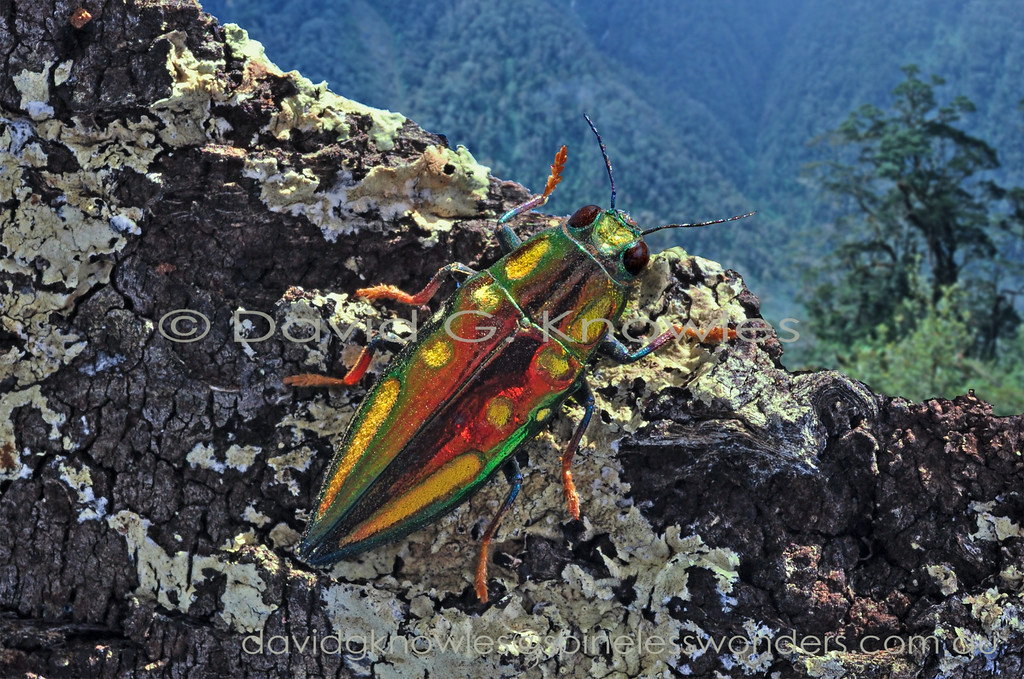 Jewel Beetle prepares to fly