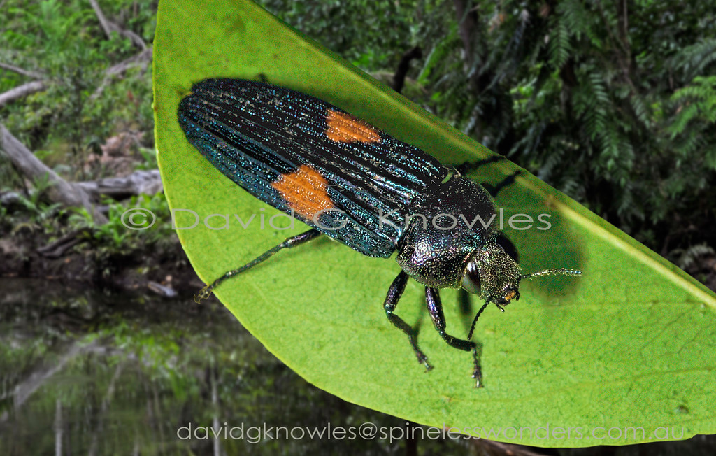 Strigoptera bimaculata occurs in Thailand, Malaysia, Vietnam, the Philippines, Borneo and Indonesia extending east into New Guinea and south to northern Queensland and the Northern Territory Australia
