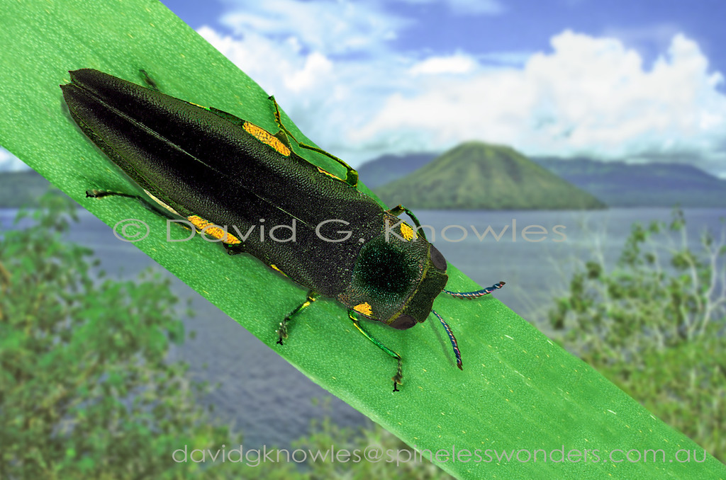 Agrilus (Pinarinus) woodlarkianus occurs in Queensland and New Guinea