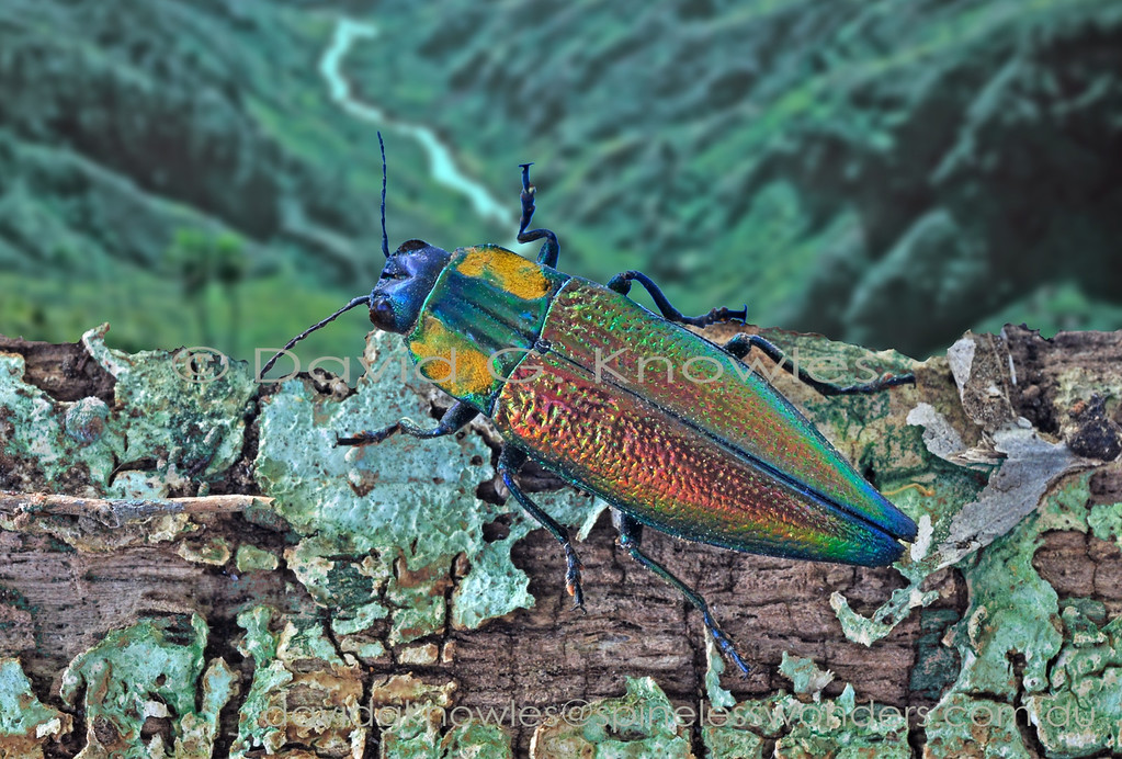 Male jewel beetle patrolling fallen log in the hope an unmated female will arrive