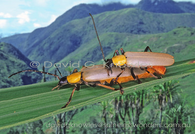 New Guinea Cantharidae (Soldier Beetles)
