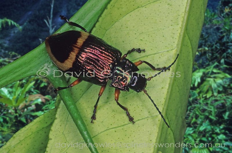 Leaf beetle surveys territory. Warning colours indicate a diet of toxic leaves