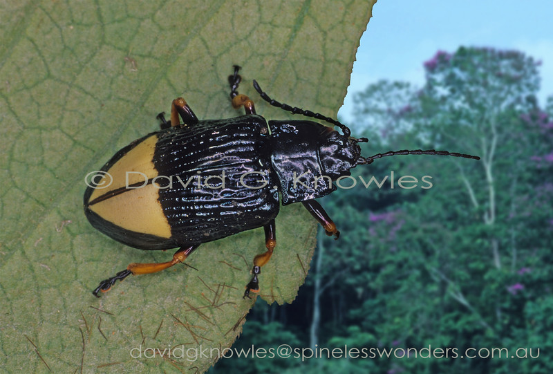 Leaf beetle prepares for flight. Warning colours indicate a diet of toxic leaves