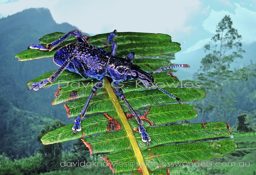 Blue male Penthoscapha weevil scans for mate