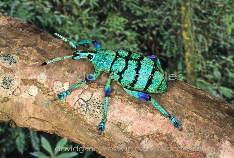 Eupholus weevil traverses log.Warning colours may explain the striking coloration though ultimately its predators may view it in UV. Despite these colours locals eat them like lollies