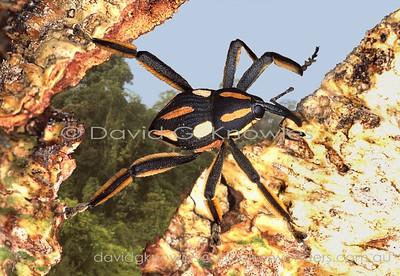 New Guinea Curculionidae (Weevils)