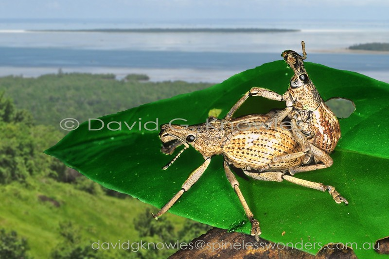 Rhinoscapha weevils mating