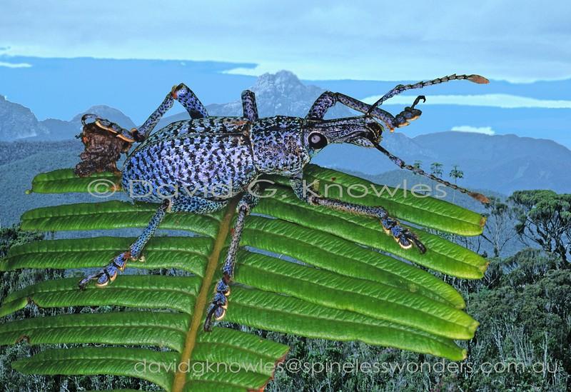 Penthoscapha weevil prepares to fly