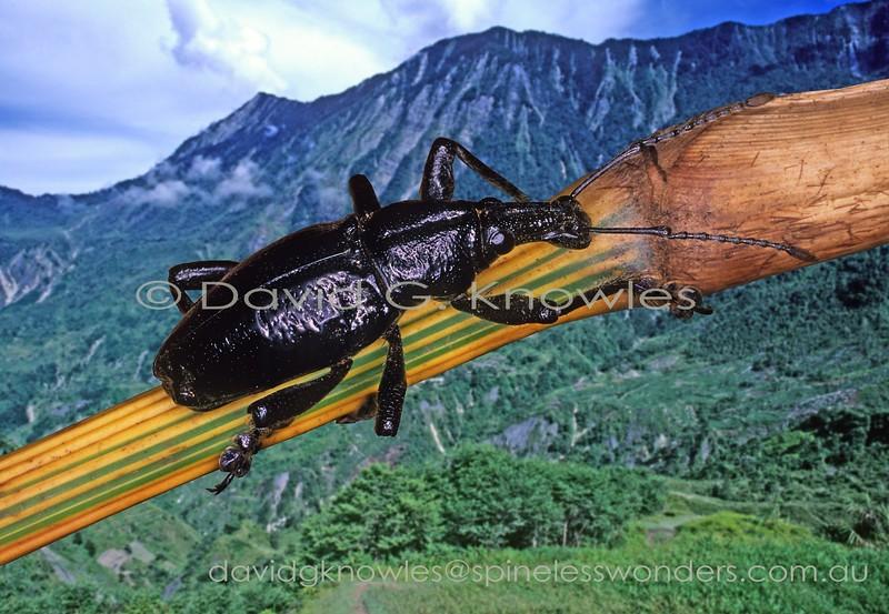 Penthoscapha  weevil at rest