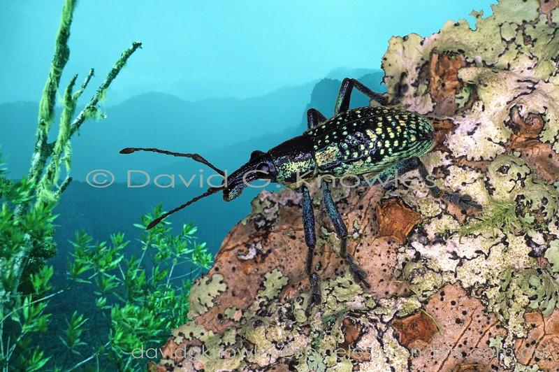 Penthoscapha Weevil surveys surroundings
