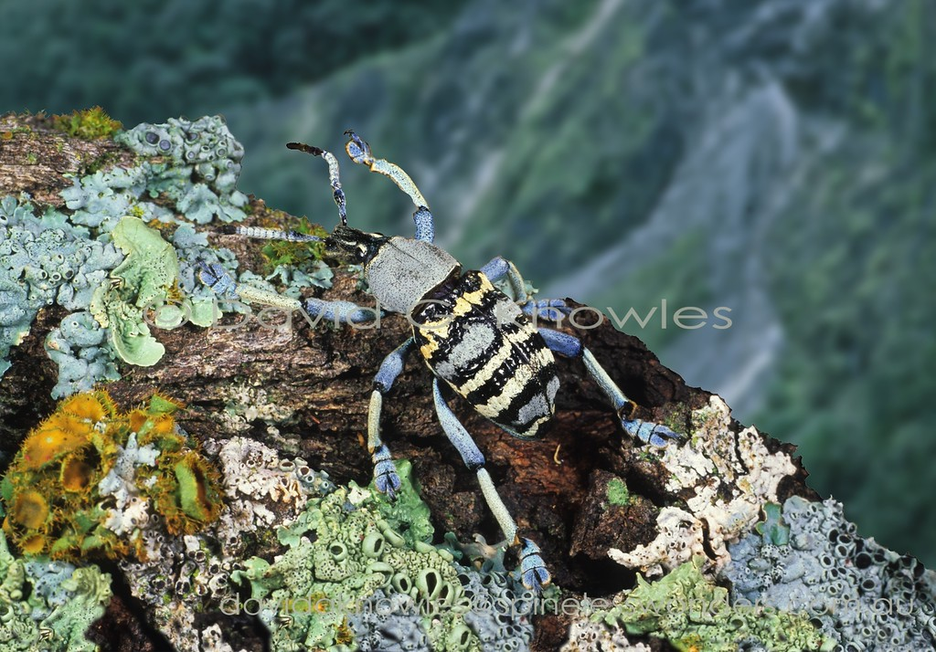 Eupholus weevil searches lichen-covered log. Warning colours may explain the striking coloration though ultimately its predators may view it in UV. Despite these colours locals eat them like lollies