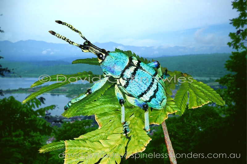 Vogelkop Eupholus weevil prepares for flight. Warning colours may explain the striking coloration though ultimately its predators may view it in UV. Despite these colours locals eat them like lollies