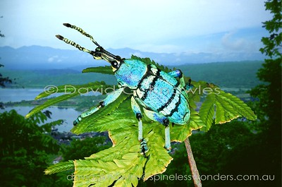New Guinea Coleoptera (Beetles)