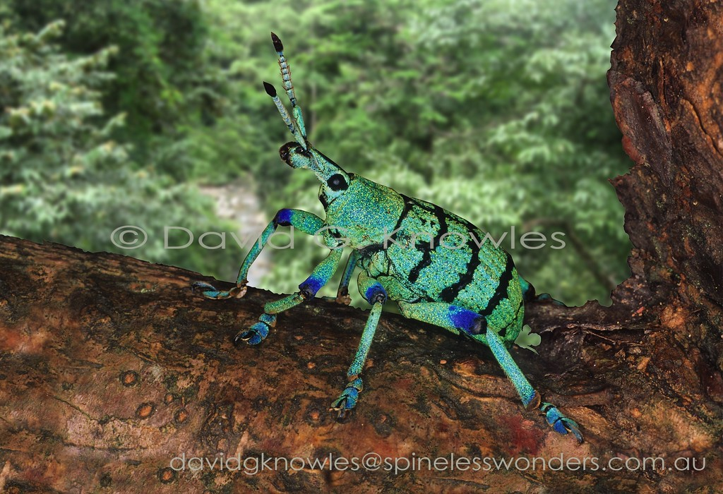 Eupholus weevil prepares to fly. Warning colours may explain the striking coloration though ultimately its predators may view it in UV. Despite these colours locals eat them like lollies