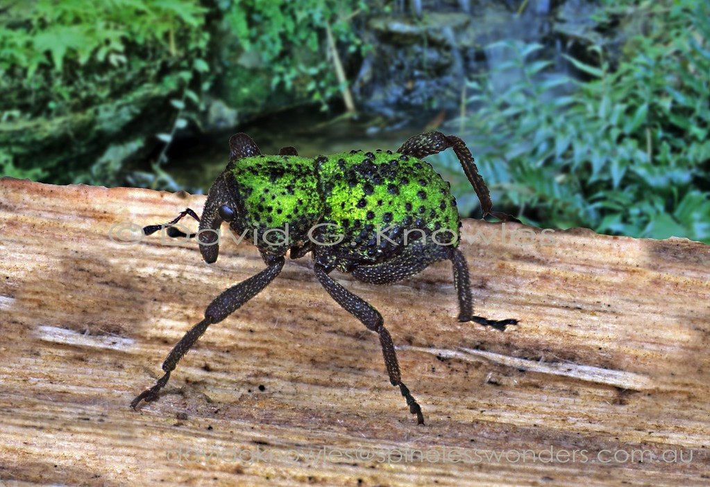Cryptorhynchine weevil patrolling log showing algal bark camouflage