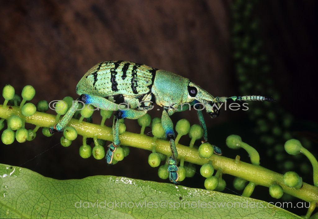 Eupholus weevil in transit. Warning colours may explain the striking coloration though ultimately its predators may view it in UV. Despite these colours locals eat them like lollies
