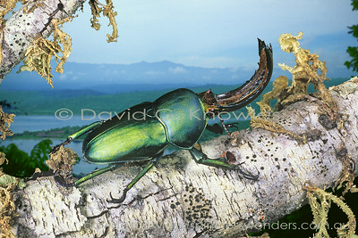New Guinea Lucanidae (Stag Beetles)