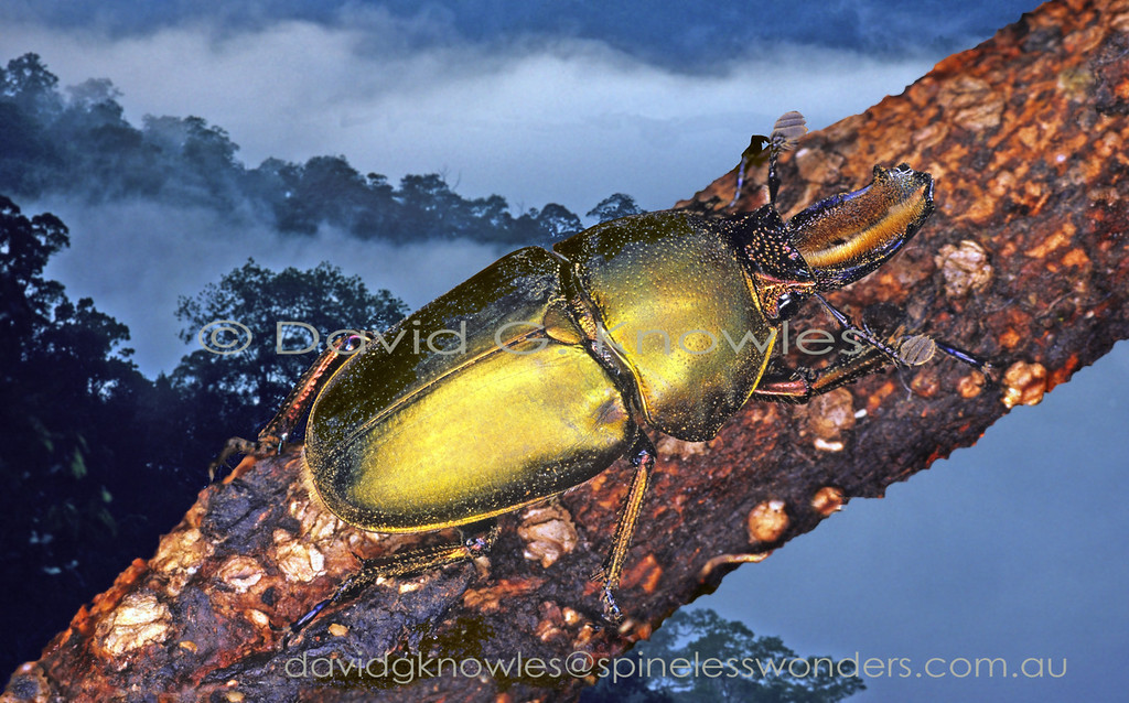 The Golden Stag Beetle Lamprima aurata (or L. latreillii TBC) is not listed as occurring in Papua by the Papua Insects website entomologists. In Australia the aforementioned species are believed to be variations of the first named L. aurata